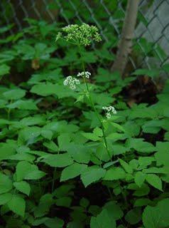 Aegopodium_podagaria_plant