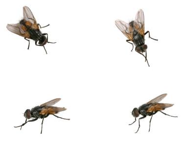 Ist2_345116-four-house-flys