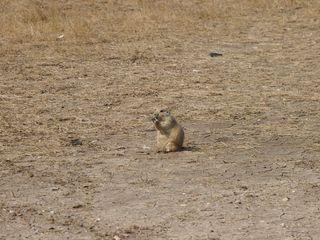 DL_prairie dog