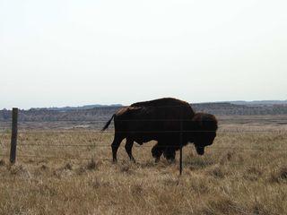 DL_buffalo